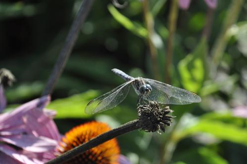 dragonfly © lynne medsker