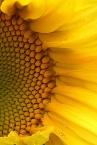 sunflower © lynne medsker