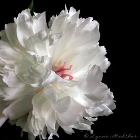 email white peony 2 © Lynne Medsker